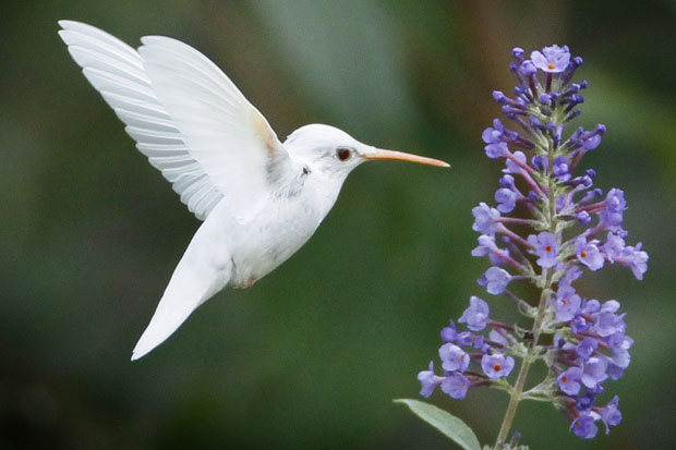 PIC BY MARLIN SHANK / CATERS NEWS - (PICTURED: The Albino ruby-throated hummingbird) - This is the incredible moment a 15-year-old photographer perfectly captures one of the rarest sights in the animal kingdom. The extraordinary snaps of an extremely rare albino Ruby-Throated Humming bird were taken by teenage snapper Marlin Shank. His amazing shots perfectly capture the moment the rare bird hovers in front of a beautiful blooming flower. With pure white feathers and pink eyes, feet and beak, the extremely rare birds are few and far between in the wild. And with its wings outstretched, Marlin quickly reacted to capture the bird majestically swooping amongst the vibrantly coloured flowerbed in full bloom. Marlin captured the spectacular shots in Staunton, Virginia, USA, as he set about capturing wildlife in a park. SEE CATERS COPY